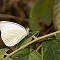Great Southern White Butterfly by Rudy Umans
