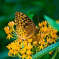 Great Spangled Fritillarie Ins 77 by G L Sarti
