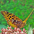 Great Spangled Fritillary Butterfly - Speyeria Cybele by Mother Nature