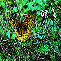 Great Spangled Fritillary Ins 49 by G L Sarti