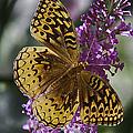Great Spangled Fritillary by John Haldane
