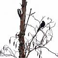 Great Spotted Woodpecker And A Blackbird. Dude What Are You Doing by Jouko Lehto