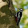 Great Spotted Woodpecker by David Beebe