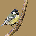 Great Tit by Chris Smith