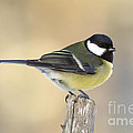 Great Tit  by Torbjorn Swenelius