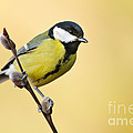 Great Tit by Willi Rolfes
