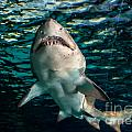 Great White by Cheryl Baxter