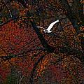 Great White Egret - Autumn Flight by J Charles