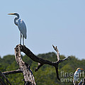 Great White Egret And Friend by Ruth  Housley
