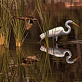 Great White Egret And Mallard Flight Sunrise Reflection by Leslie Reagan -  Joy To The Wild Photos