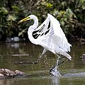 Great White Egret And Turtle Friends1 by Vernis Maxwell
