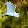 Great White Egret At Sunset by Sabrina L Ryan