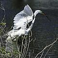 Great White Egret Building A Nest V by Susan Molnar