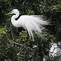 Great White Egret Building A Nest Vii by Susan Molnar