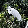Great White Egret Building A Nest Viii by Susan Molnar