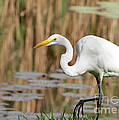 Great White Egret By The River by Sabrina L Ryan