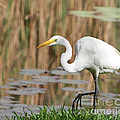 Great White Egret By The River Too by Sabrina L Ryan