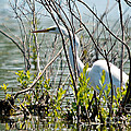 Great White Egret by Cheryl Baxter