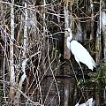 Great White Egret by Chuck  Hicks