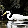 Great White Egret Eating Fish 2 by Vernis Maxwell