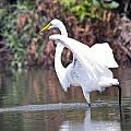 Great White Egret Fishing 1 by Vernis Maxwell