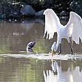 Great White Egret Fishing Sequence 4 by Vernis Maxwell