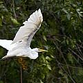 Great White Egret Flying 1 by Vernis Maxwell