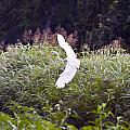 Great White Egret Flying 2 by Vernis Maxwell