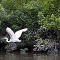 Great White Egret Flying 3 by Vernis Maxwell
