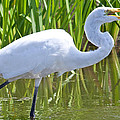 Great White Egret In Horicon Marsh by Natural Focal Point Photography