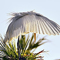 Great White Egret In The Morning Light by Bill Dodsworth