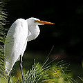 Great White Egret In The Tree by Sabrina L Ryan
