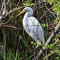 Great White Egret In The Wild by Chuck  Hicks