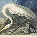 Great White Egret by Celestial Images