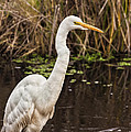 Great White Egret by Kathleen Bishop
