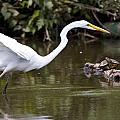 Great White Egret Looking For Fish 1 by Vernis Maxwell