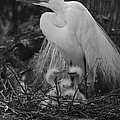Great White Egret Mom And Chicks In Black Ans White by Suzanne Gaff