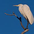 Great White Egret On A Snag by Kathleen Bishop