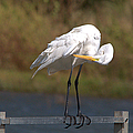 Great White Egret Preening by Roy Williams