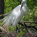 Great White Egret Primping by Suzanne Gaff