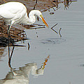Great White Egret  by Tikvah's Hope