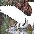 Great White Egret Splash 1 by Vernis Maxwell