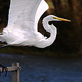 Great White Egret Takeoff by Roy Williams
