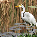 Great White Egret Taking A Stroll by Sabrina L Ryan