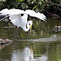 Great White Egret Wingspan And Turtles by Vernis Maxwell