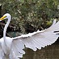 Great White Egret Wingspan1 by Vernis Maxwell