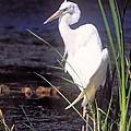 Great White Heron by John Harmon