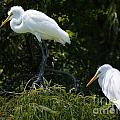Great White Heron Meeting by Dale Powell
