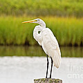 Great Egret by Scott Pellegrin
