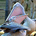 Great White Pelicans by David Lee Thompson